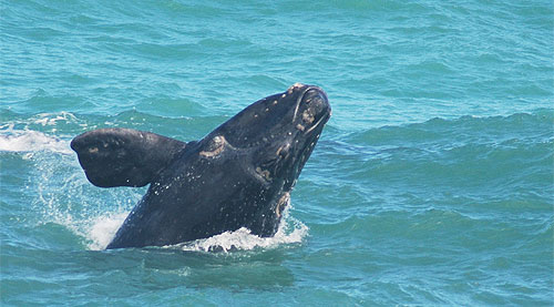 Southern Right Whale - Breaching